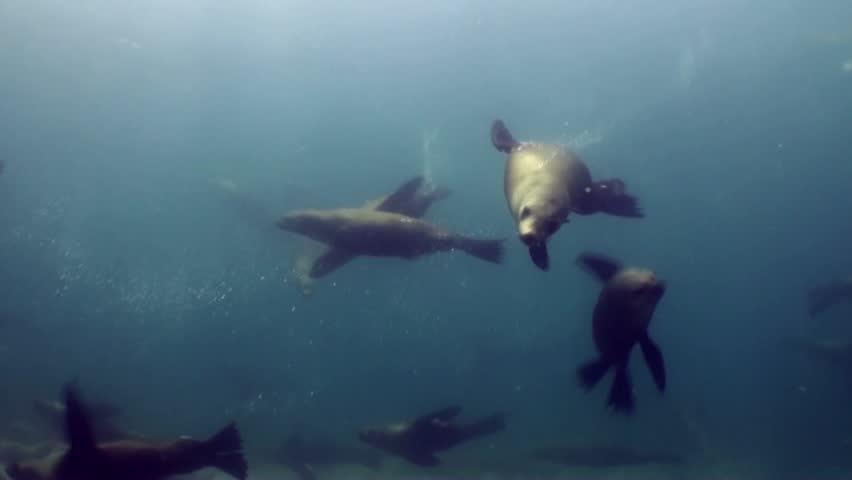 many Australian fur seals one investigates camera