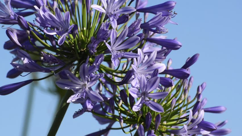 Header of Agapanthus Africanus