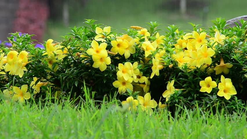 Header of Allamanda