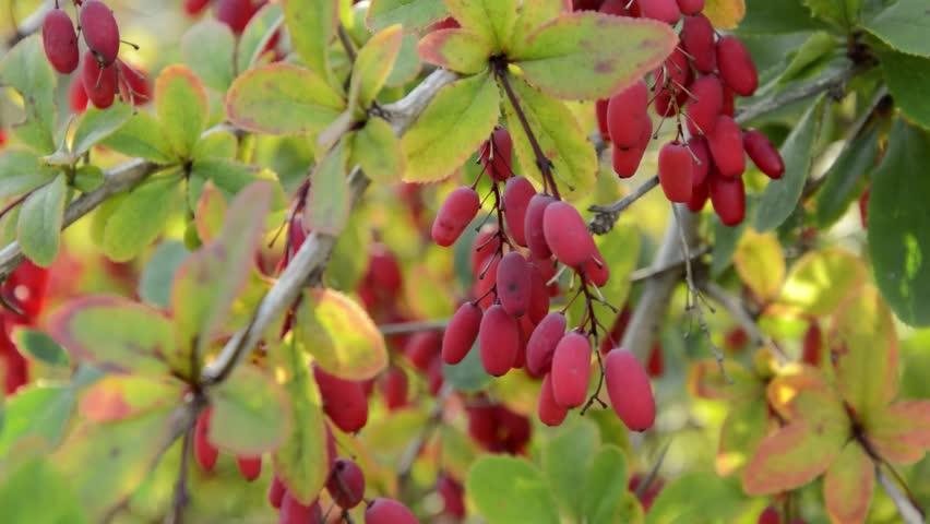 Common barberry (Berberis vulgaris) - HD stock footage clip
