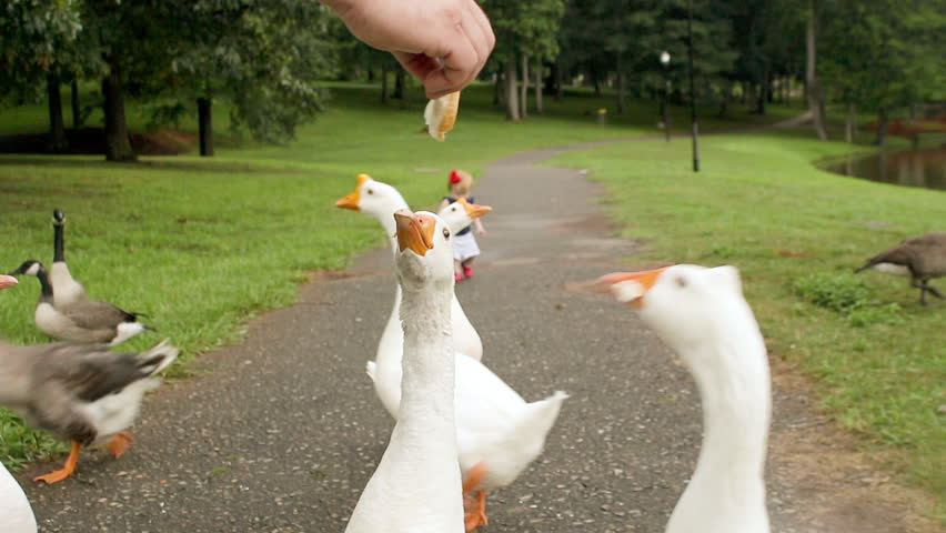 Close up of a man's hand feeding White Chinese Geese - HD stock video clip