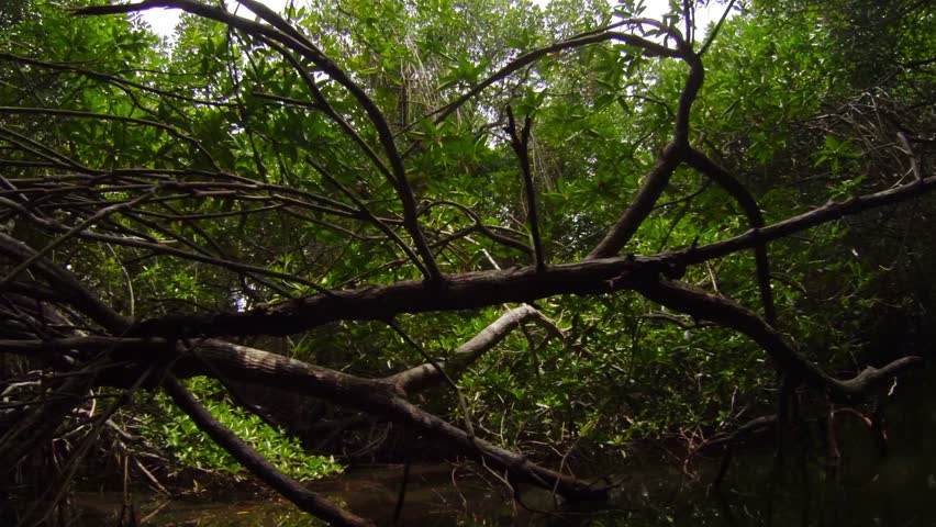 Video 1920x1080 - Dense thickets of mangrove trees on a tropical river - HD stock video clip