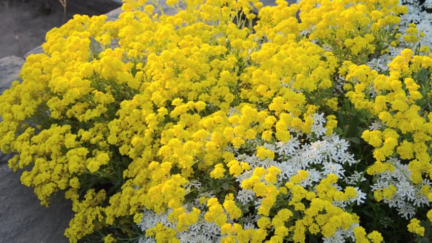 Header of Alyssum saxatile