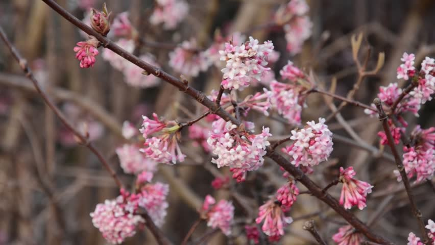 winter viburnum viburnum x bodnantense 39 dawn 39 stock footage video 4374446 shutterstock. Black Bedroom Furniture Sets. Home Design Ideas