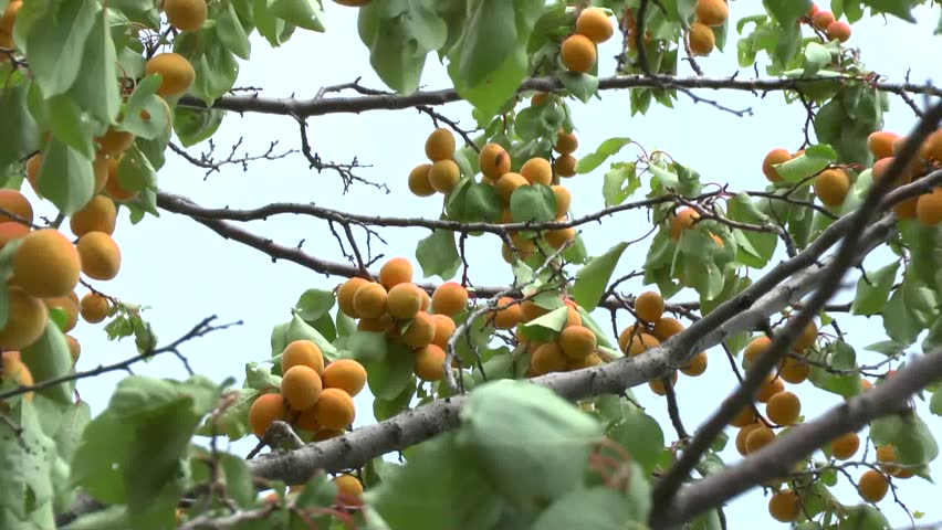 Branch of a tree studded with apricot fruit  - HD stock footage clip