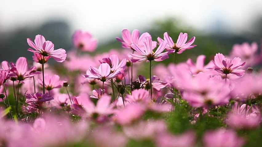 Field Of Pink Flowers, HD 1080P Stock Footage Video