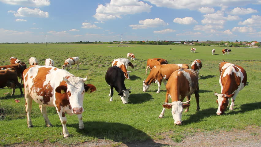 Cows grazing on a green meadow - HD stock video clip