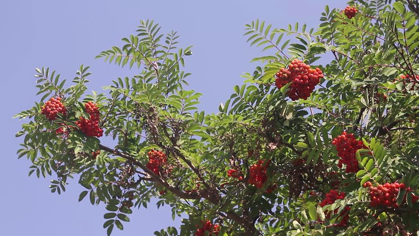 Header of American mountain ash