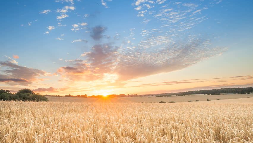 sunrise among a wheat fields in the summer uk #4455293