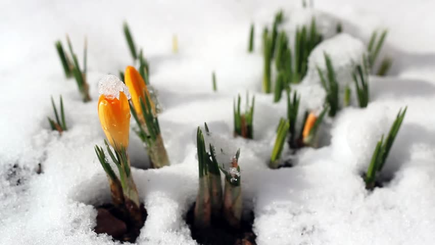 Spring Time Lapse Winter Snow Melts Flower Crocus Early