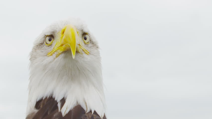 American Bald Eagle on white. Shot on RED Epic in SLow motion at 160 FPS