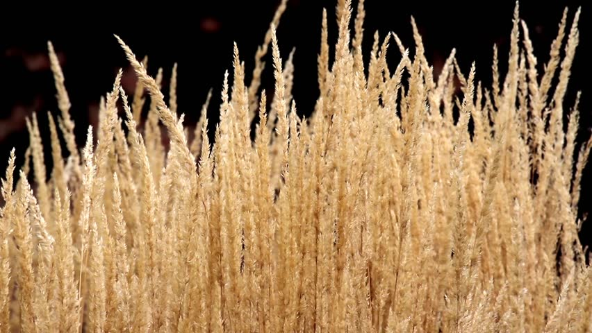 Beautiful loop features ornamental grass grain head for Ornamental grass that looks like wheat