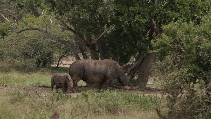 Rhino and calf - HD stock footage clip
