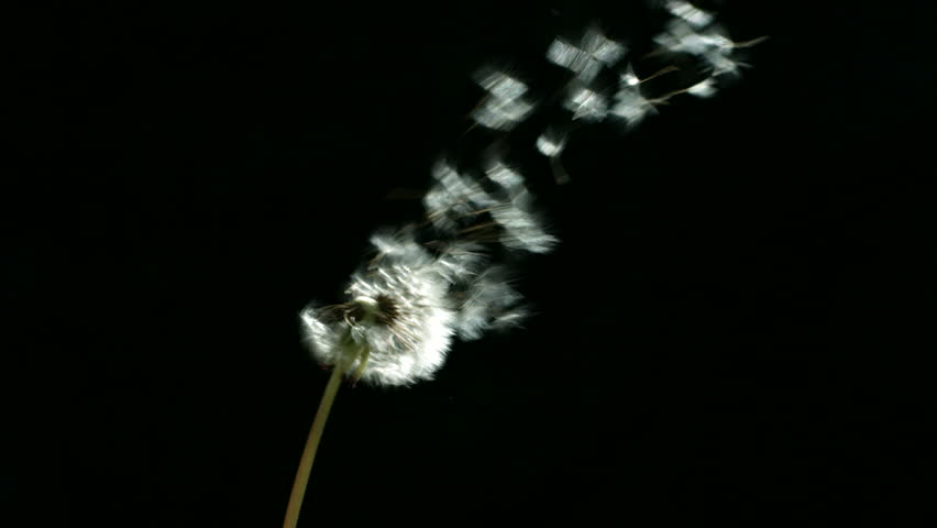 Dandelion blowing, slow motion