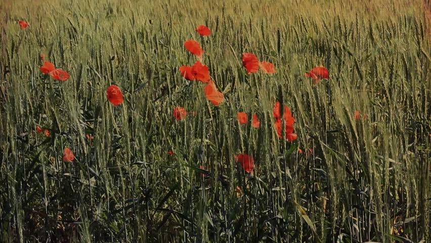 wheat field and poppies - HD stock video clip