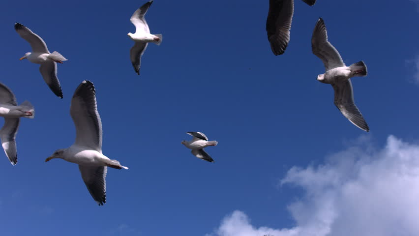 Flock of seagulls fly overhead, slow motion - HD stock video clip