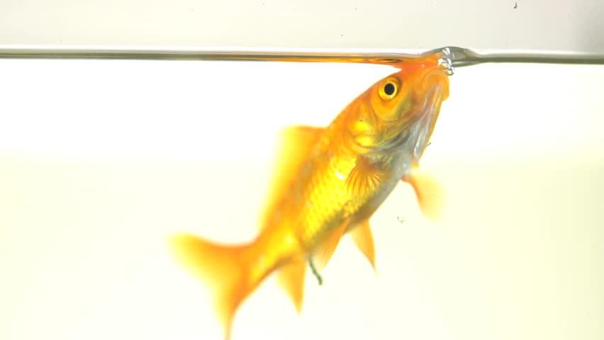 4k hd amazing goldfish - photo #17