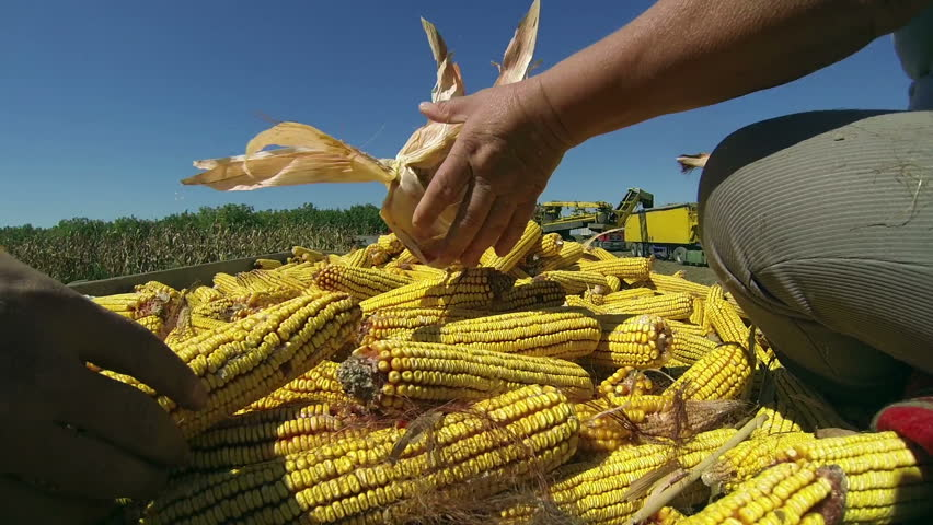 Human Hands Holding Corn After Harvest. Farmers at work in corn field. Harvest of Maize. Agricultural Production. Corn Harvest on Farmland .