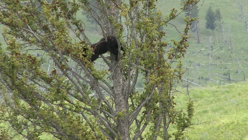 A black bear cub begins his way down a high tree.