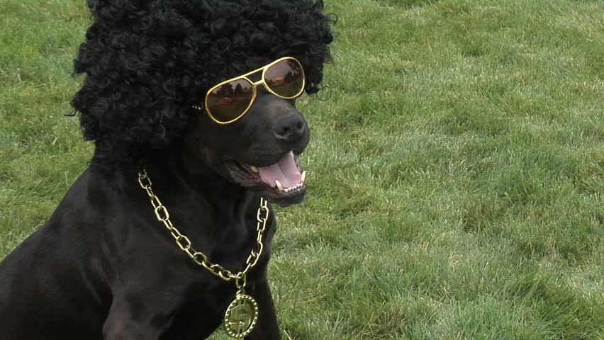 Dog in an afro wig and glasses  | Shutterstock HD Video #4634528