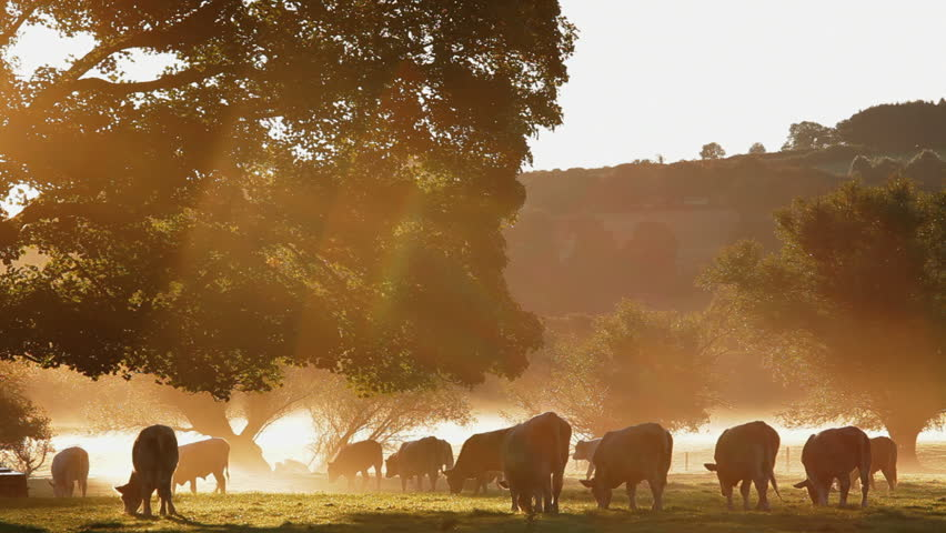 Close view of a herd of cows grazing in the dappled morning sunlight in a field in Cows in Usk Valley, South Wales, UK