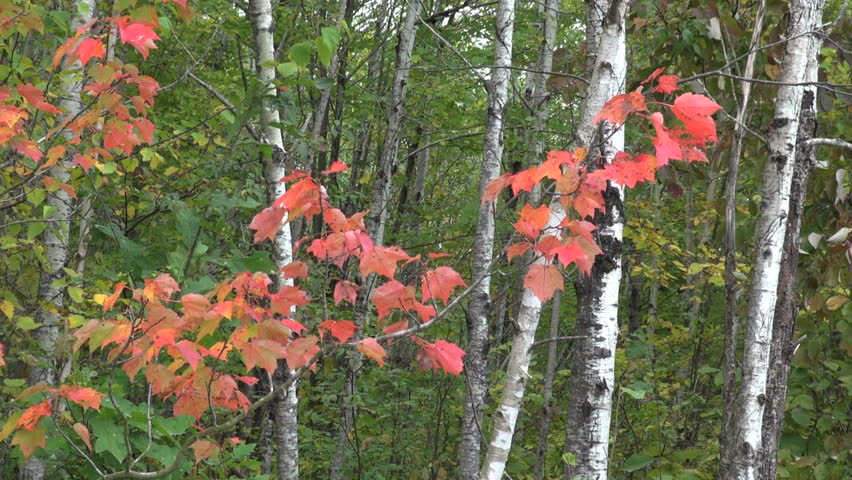 Wisconsin birch and red leaves - HD stock footage clip