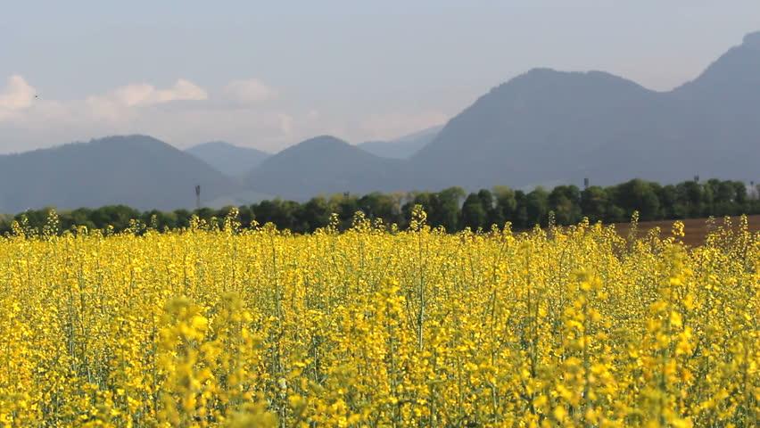 beautiful yellow field landscape - photo #15