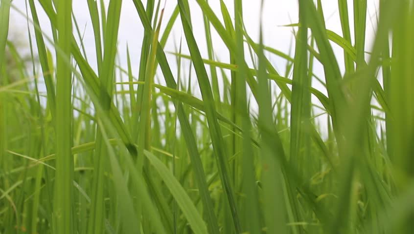 beautiful of green rice - HD stock footage clip