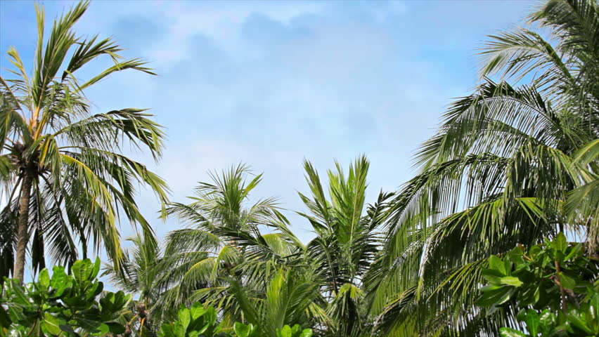 Video 1920x1080 - Palms grove swaying on the wind against a blue sky - HD stock footage clip