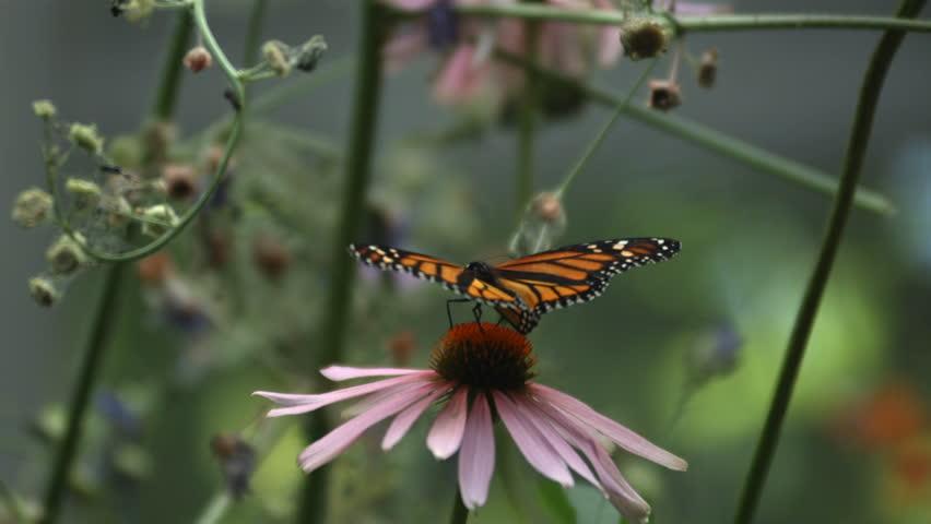 Monarch Butterfly, slow motion