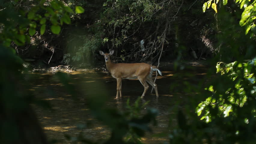 Deer sighting in the river. View through trees of female white-tailed deer in the river. Don River, Toronto, Ontario.