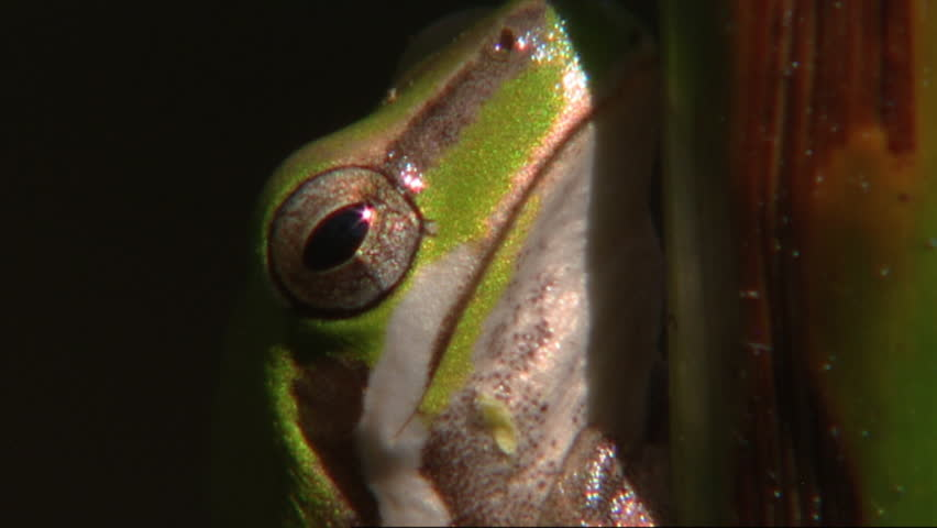 Frog head close up - HD stock footage clip