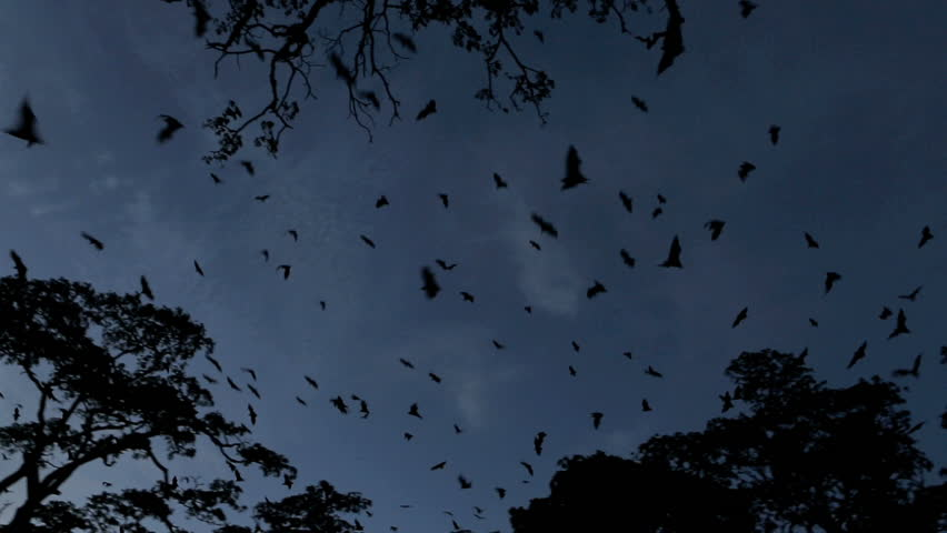 Fruit bat (flying fox) colony mass exodus at dusk with bats filling sky, tracking shot | Shutterstock HD Video #4811540
