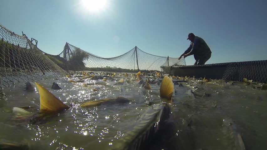 Fisherman Pulling a Fishing Net.Harvesting fish at fish farm.  Fishing Industry. Carp Fish.