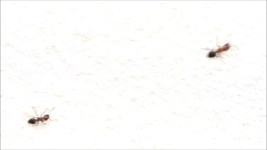 Ants walking on white wall - HD stock video clip