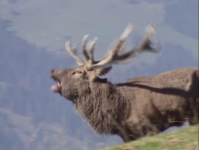 Landscaping Ties Red Deer : European red deer cervus elaphus solitary hind foraging during rutting season sound of