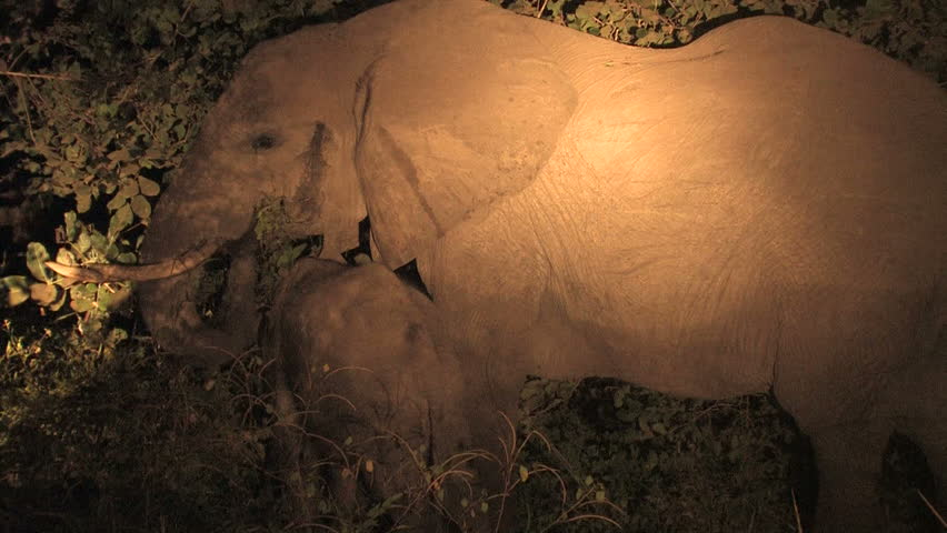 African Elephant eating at night in bush | Shutterstock HD Video #4890794