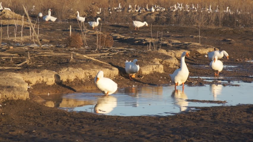 Heihe gooses (04). White gooses on a farm on the outskirts of the Chinese border city of Heihe (Heilongjiang Province, China). The evening of the autumn day of October 16, 2013. - HD stock footage clip