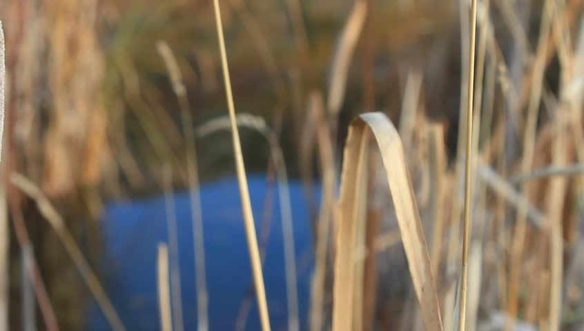 Slow pan of tall dry grass and a cattail. - HD stock video clip