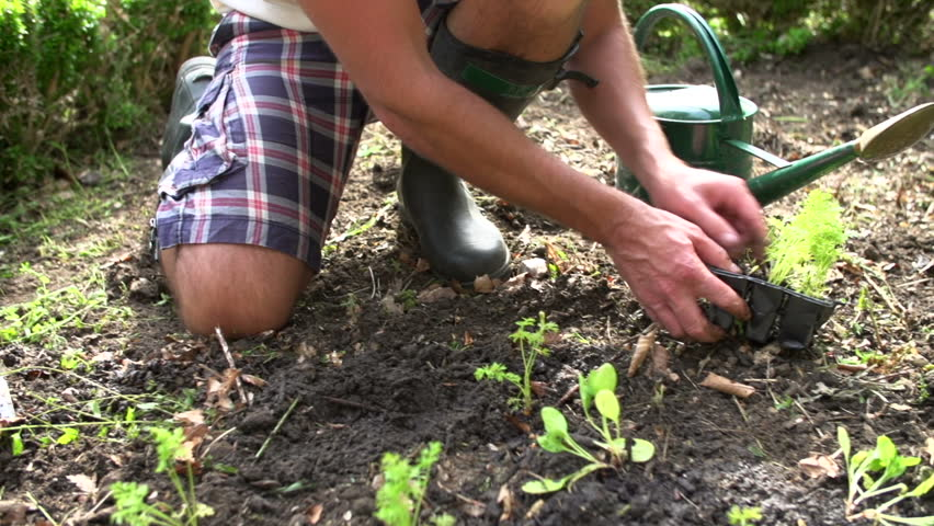 Close up of man planting and watering seedlings in garden in slow motion