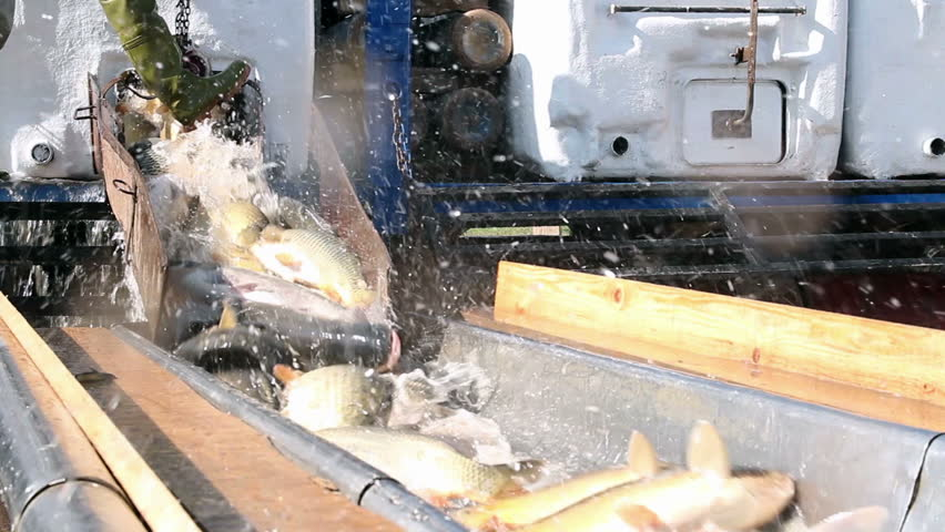 Fresh Fish for the Market. Unloading Fish Catch.