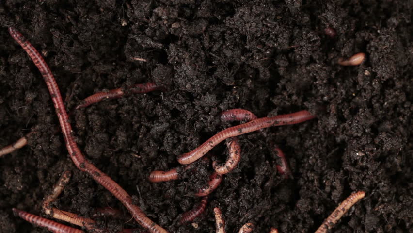 Earthworms moving in the soil - HD stock footage clip