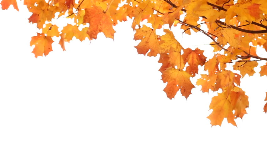 Maple leaves in Autumn isolated on white. Room for your Text.