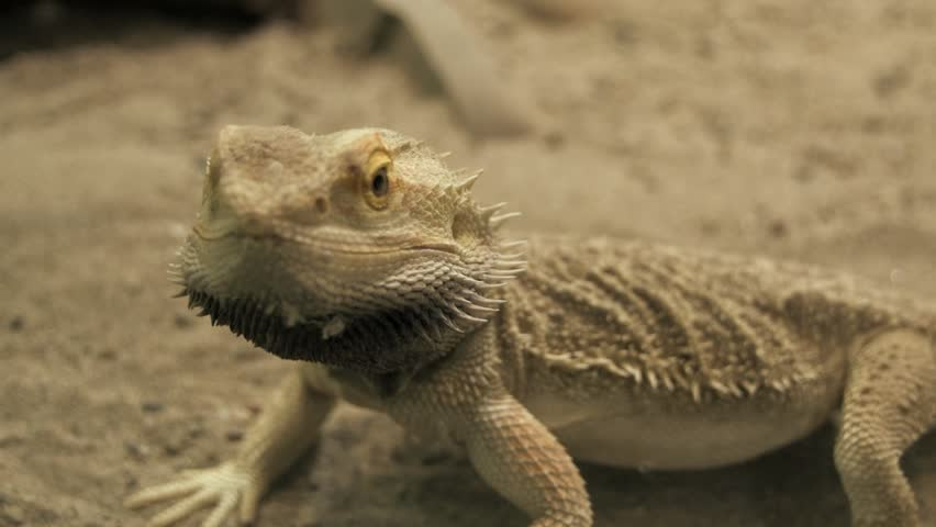 lizard running. reptile. dry sand environment. wildlife nature - HD stock footage clip