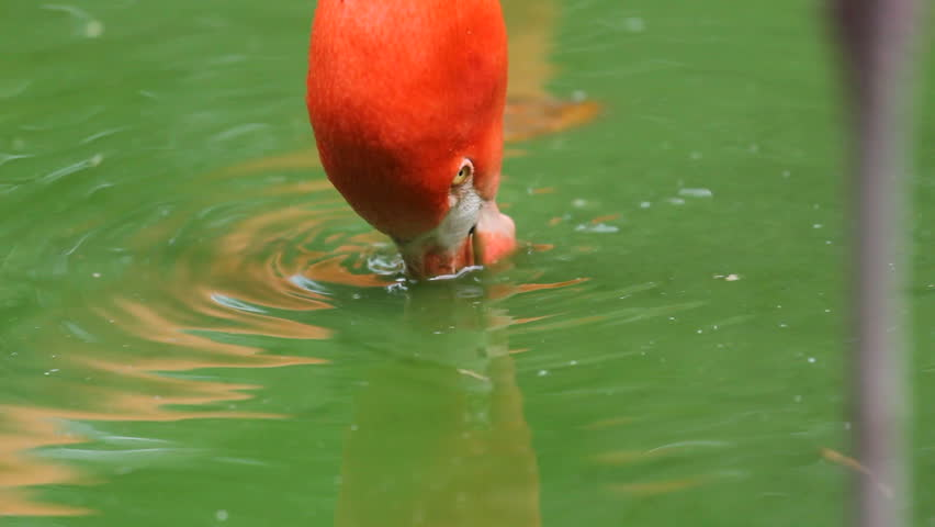 Red colored flamingo bird head drink  water from a green lake - HD stock video clip