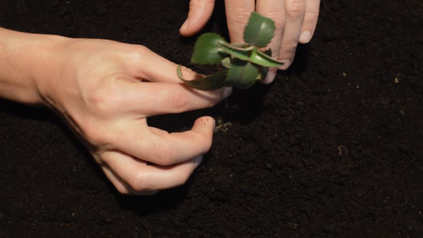 human hands planted a sapling in soil