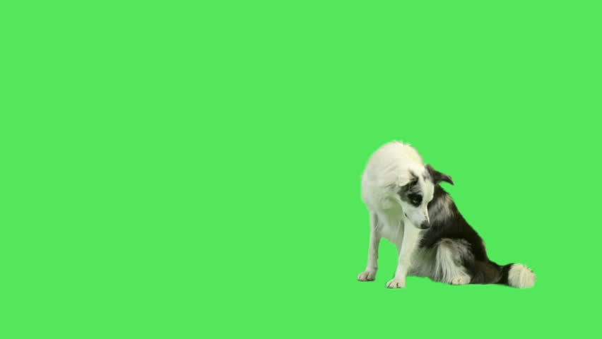 Dog laying down and rolling over in green screen studio  - HD stock video clip