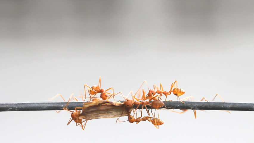 Red ant carrying food to nest