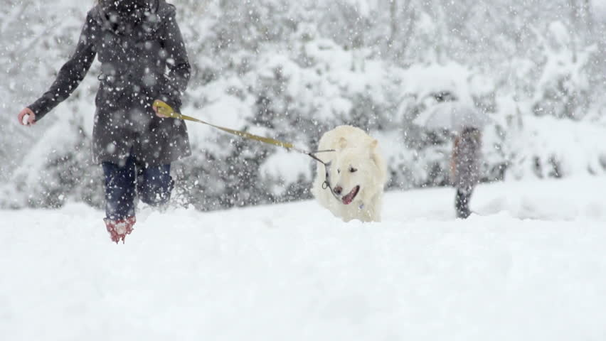 Spectacular Slow Motion Of White Swiss Shepherd Dog Running Through High Snow Straight Towards The Camera