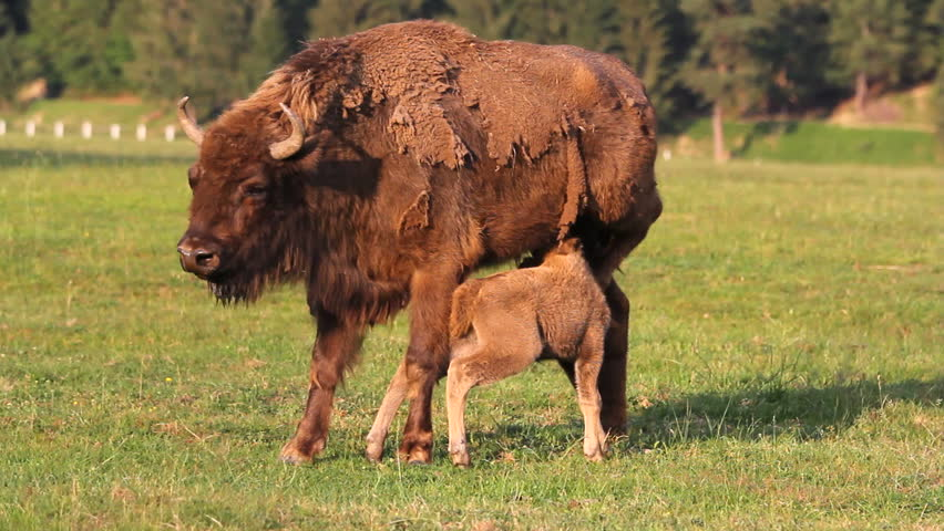 1113 Bison Grazing Ranch Land With Calves Buffalo Amp Lush